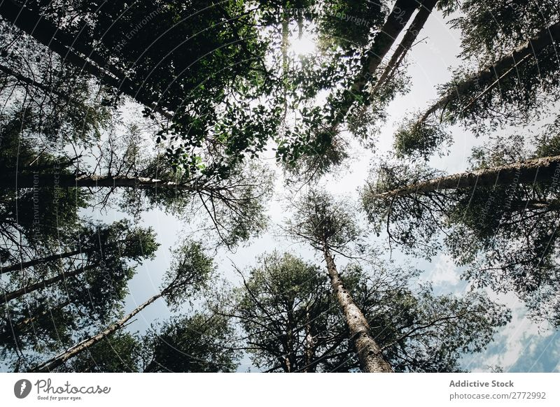 Tree tops seen from below Sky Forest Treetop Exterior shot Looking up Height from the ground bottom view Perspective linear Leaf Tree trunk trunck