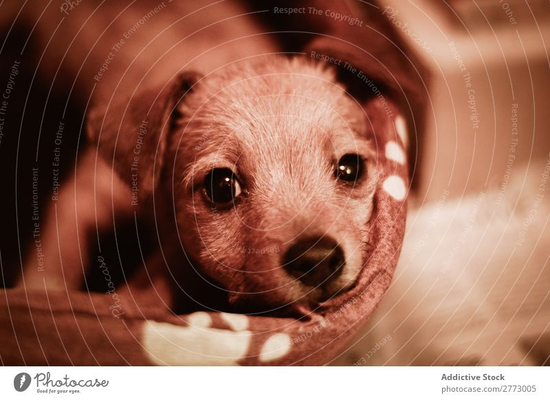 Small puppy looking at camera Puppy Cute Looking into the camera Domestic Dog Delightful Pet Animal Purebred Mammal Breed Newspaper lay Fur coat doggy Funny