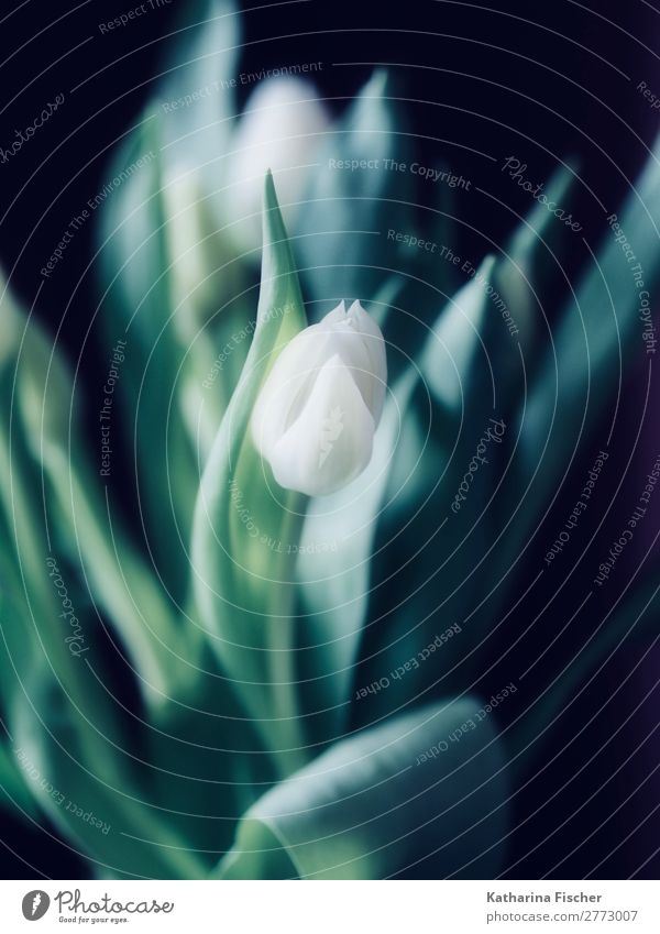 Tulip white noble bunch of flowers Art Nature Plant Spring Summer Autumn Winter Flower Bouquet Blossoming Illuminate Esthetic Beautiful Green Turquoise White