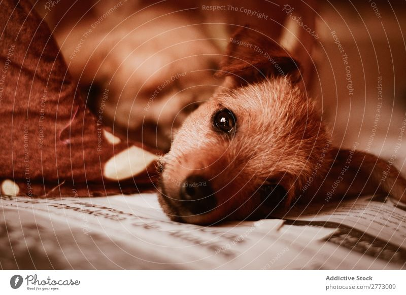 A puppy laying on newspaper Puppy Newspaper Cute Looking into the camera Domestic Dog Delightful Pet Animal Purebred Mammal Breed Small Fur coat doggy Funny