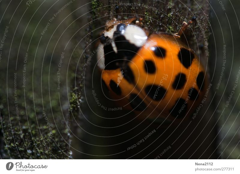 up to the light Nature Animal Field Forest Beetle 1 Orange Red Black Happy Polka dot Patch Ladybird Good luck charm Insect coccinelle Dark Undergrowth