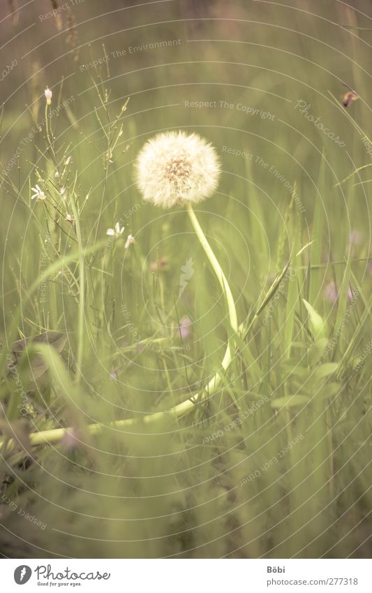 dandelion Environment Nature Plant Animal Spring Grass Wild plant Dandelion Meadow Fragrance Soft Yellow Green Violet White Colour photo Exterior shot Deserted