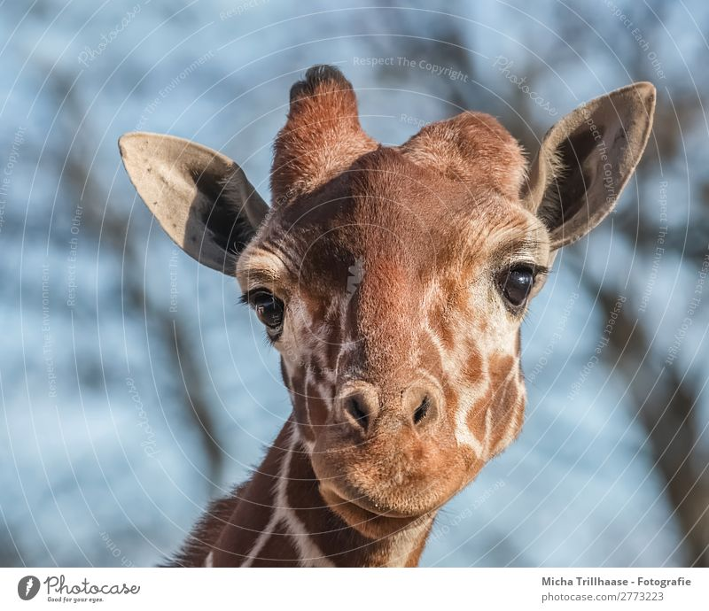 Giraffe looks interested Nature Animal Sky Sunlight Beautiful weather Wild animal Animal face Pelt Eyes Nose Muzzle Ear Camel hump Antlers 1 Observe Glittering