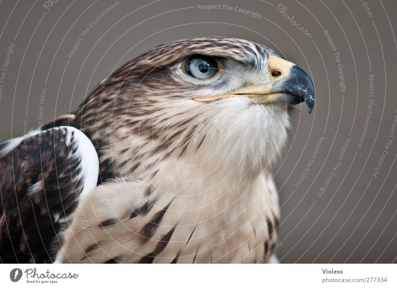 Clear view 1 Animal Observe Natural Wild Power Brave Esthetic Threat Nature Falcon Bird of prey Looking Animal portrait Colour photo