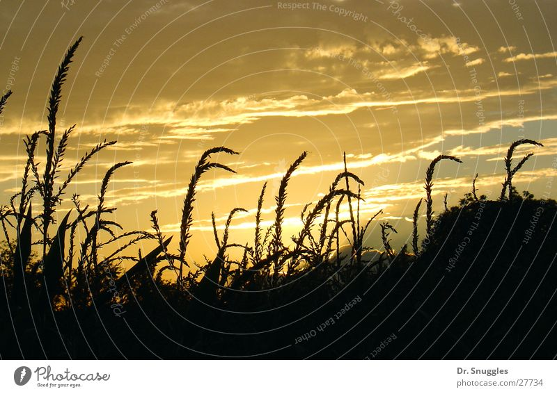Clouds Yellow Field Gold Ear of corn Rhineland-Palatinate Wörth am Rhein