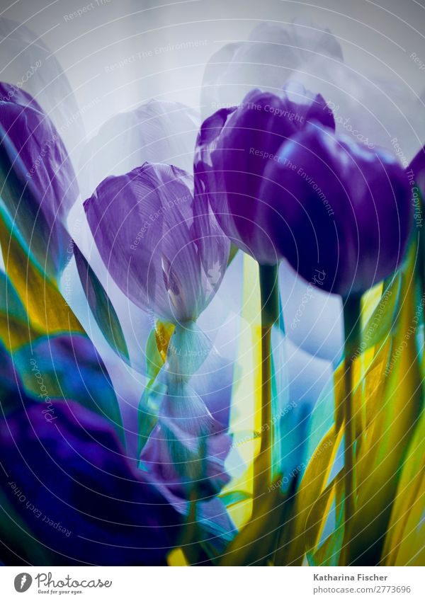 Tulips purple double exposure Art Work of art Painting and drawing (object) Nature Plant Spring Summer Autumn Winter Flower Leaf Blossom Bouquet Blossoming