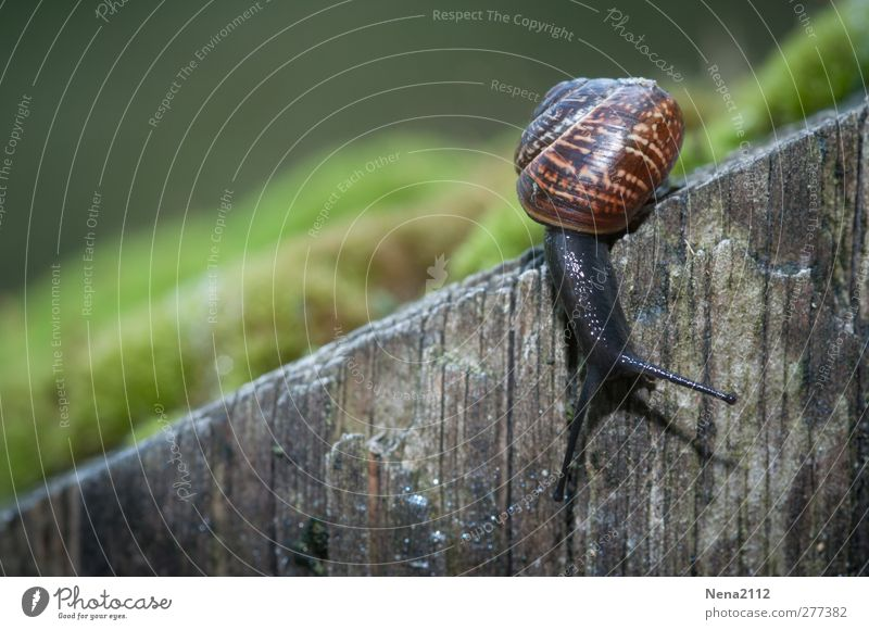 abbreviation Nature Animal Moss Forest 1 Brown Green Snail Mollusk Under Downward Wood Wooden wall Housing Snail shell Crawl Mucus Slowly Small Colour photo