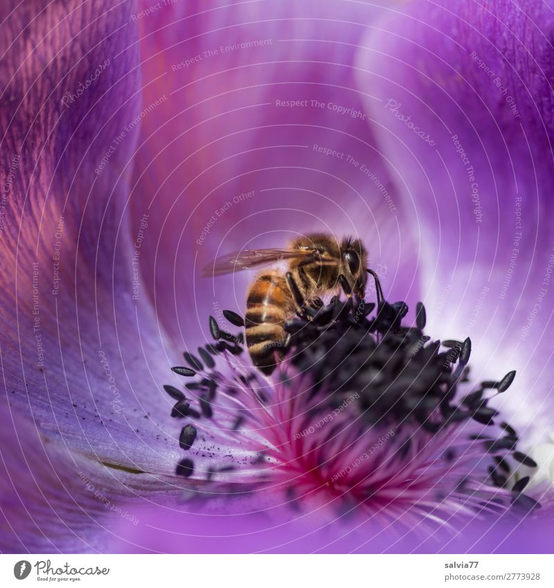 anemone scent Environment Nature Spring Summer Flower Blossom Anemone Garden Farm animal Bee Honey bee Insect Pollen Nectar 1 Animal Blossoming Fragrance Crawl