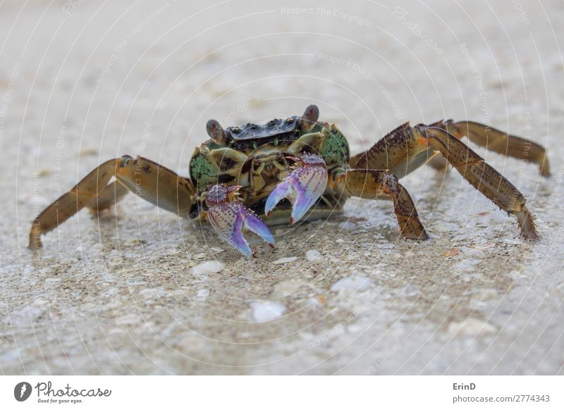 Close up crab on wet beach with purple claws and protruding eyes Vacation & Travel Nature Summer Beautiful Landscape Ocean Relaxation Animal Beach Face Life