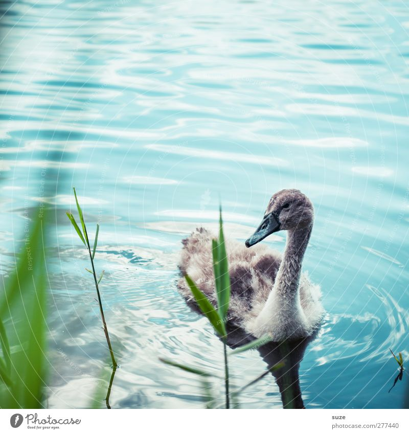 little swan Environment Nature Animal Beautiful weather Grass Lakeside Pond Wild animal Bird Swan 1 Baby animal Observe Small Cute Blue Green Curiosity