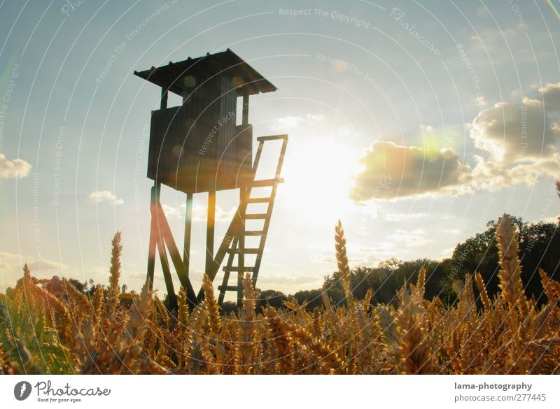 Stairway to heaven Hunter Agriculture Forestry Sun Sunlight Wheat Wheat ear Field Wheatfield Cornfield Hunting Gold Hunting Blind hunter's seat Colour photo