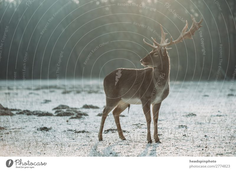 Stag at sunrise in winter landscape Environment Nature Landscape Autumn Winter Meadow Field Forest Germany Animal Wild animal Deer 1 Hunting Esthetic Threat
