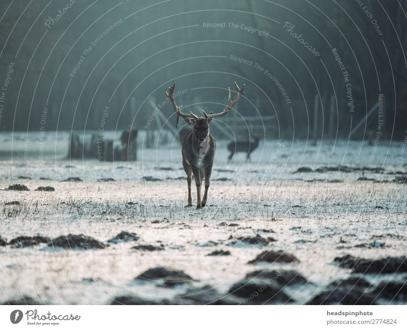 Stag at sunrise in winter landscape Adventure Freedom Winter vacation Landscape Plant Animal Earth Sunrise Sunset Autumn Meadow Field Forest Wild animal Deer 1