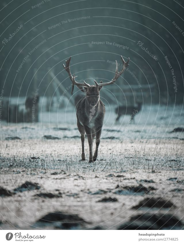 Stag at sunrise in winter landscape Environment Nature Autumn Winter Meadow Field Forest Animal Wild animal 1 Esthetic Power Willpower Cold Deer Antlers Snow