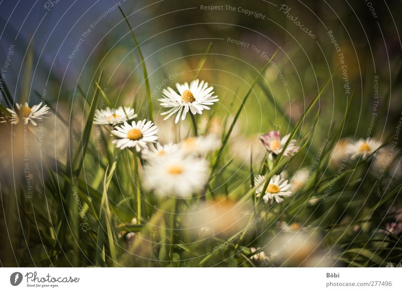 favourite flower Environment Nature Plant Animal Flower Blossom Wild plant Daisy Meadow Beautiful Blur Colour photo Exterior shot Copy Space top Day