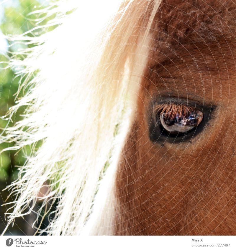 Animal Eyes Hair and hairstyles Blonde Horse Pelt Pony Farm animal