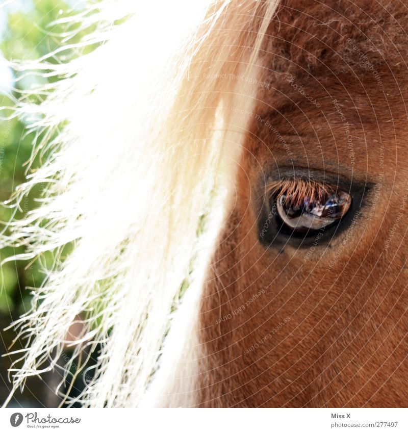 pony pony Hair and hairstyles Blonde Animal Farm animal Horse 1 Eyes Pony Pelt animal hair Colour photo Exterior shot Close-up Deserted Light Sunlight