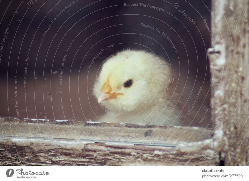 Beautiful Loneliness Animal Yellow Small Baby animal Bird Cute Soft Animal face Zoo Window pane Beak Barn fowl Farm animal View from a window