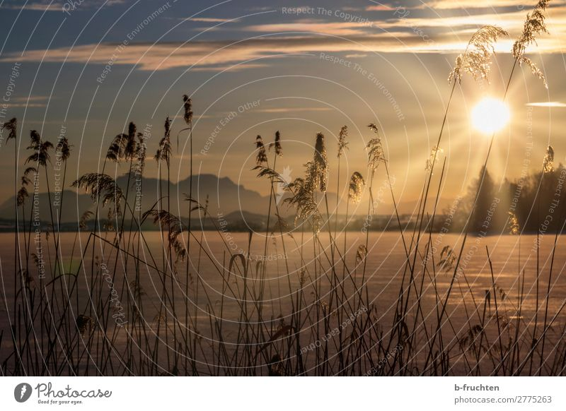 Reed at the frozen lake, sunset Well-being Relaxation Calm Meditation Vacation & Travel Winter Nature Sky Sunrise Sunset Sunlight Ice Frost Plant Looking