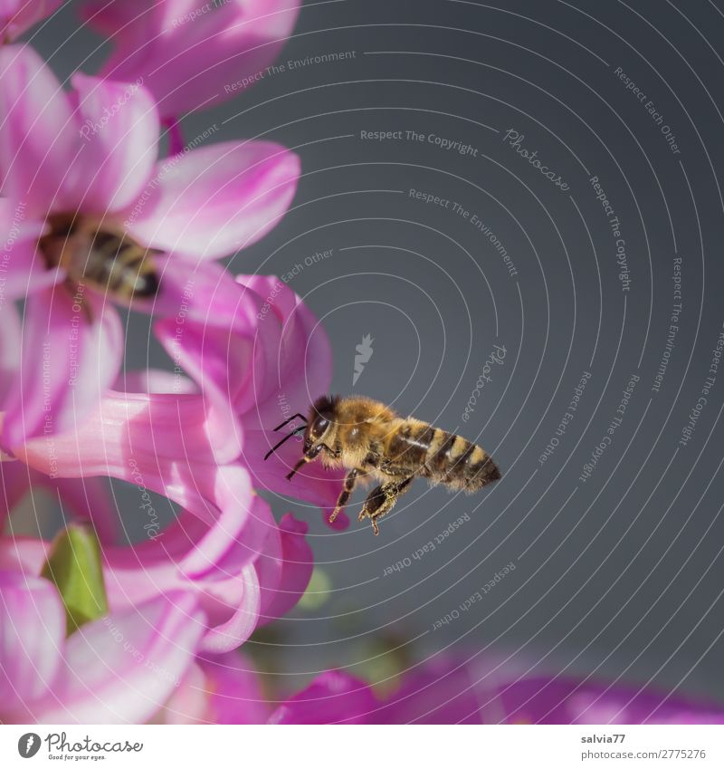 Nature Plant Flower Animal Environment Blossom Spring Pink Sweet Blossoming Target Insect Bee Fragrance Spring fever Diligent
