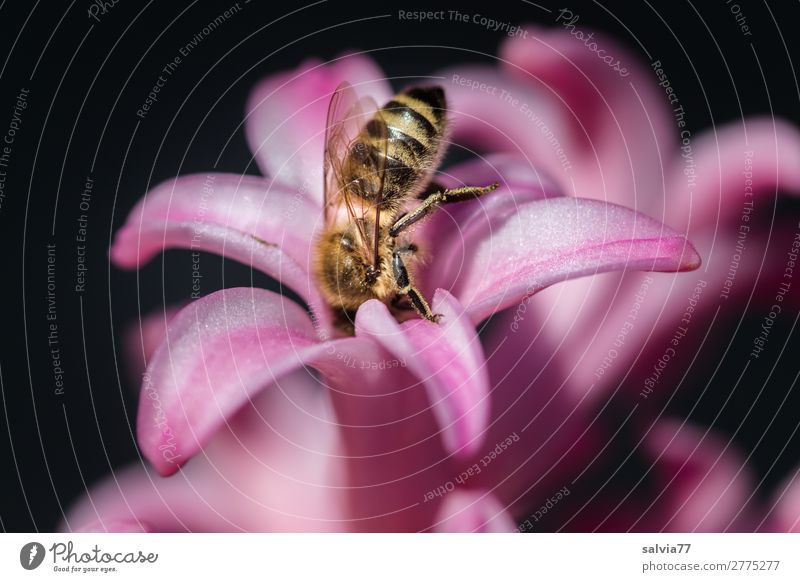 Nature Summer Flower Animal Environment Blossom Spring Garden Pink Sweet Esthetic To enjoy Blossoming Insect Bee Fragrance
