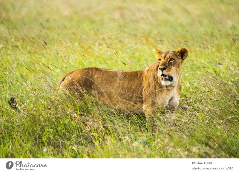 Lioness sitting in the savannah Cat Woman Vacation & Travel Nature Animal Face Adults Yellow Natural Wild Park Dangerous Africa Mammal Wilderness