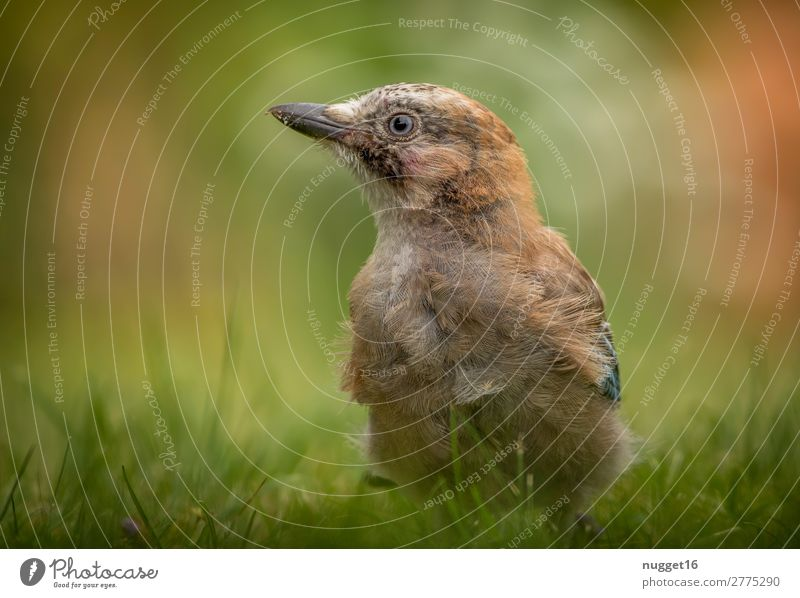 jay boy Environment Nature Plant Animal Sun Spring Summer Autumn Beautiful weather Grass Garden Park Meadow Forest Wild animal Bird Animal face Wing Jay 1