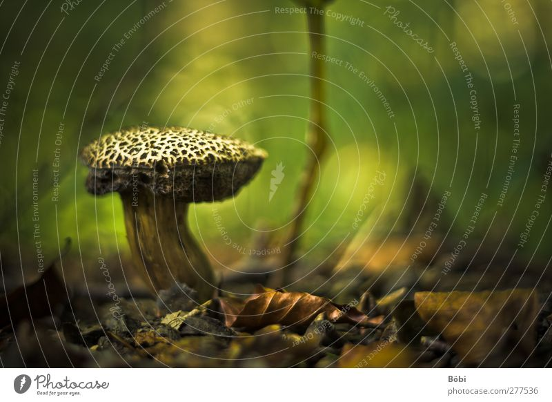 mushroom Environment Nature Plant Earth Autumn Mushroom Forest Delicious Colour photo Exterior shot Close-up Deserted Copy Space right Copy Space top Day Light