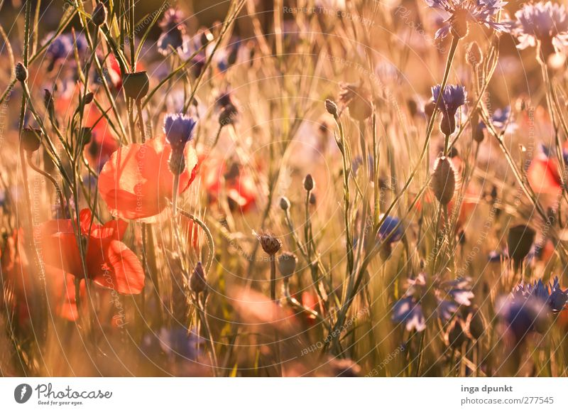 summer meadow Environment Nature Landscape Plant Summer Beautiful weather Flower Wild plant Meadow Field Poppy Poppy blossom Cornflower Exceptional Natural