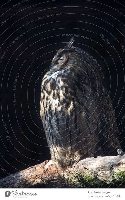 Animal Sit Eagle owl