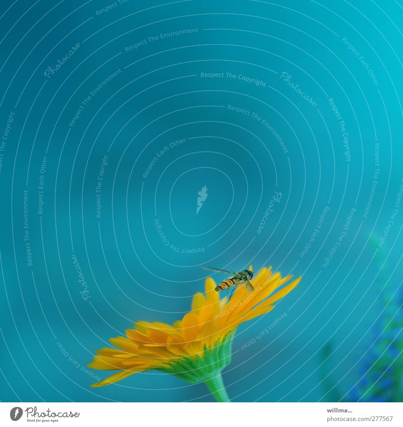 hoverfly on gerbera Hover fly flowers Gerbera Insect Flying Orange turquoise Nectar Blossom leave Complementary colour Colour photo Exterior shot Deserted