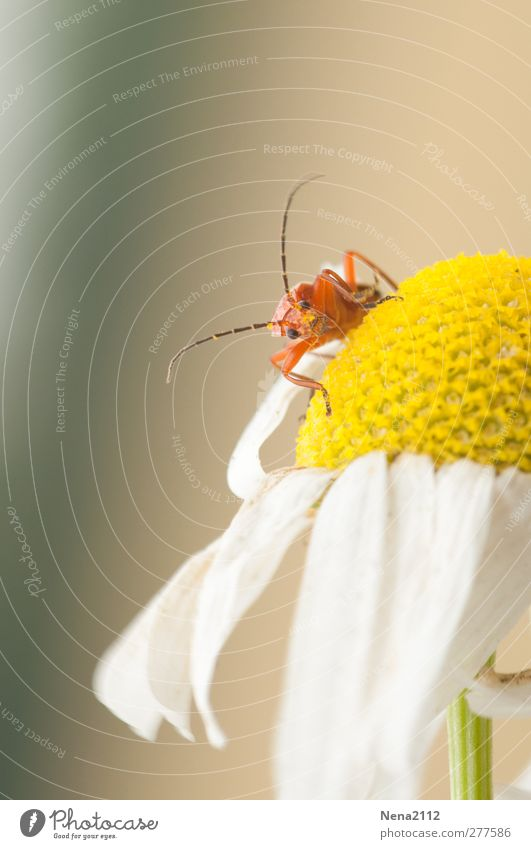 inquisitiveness Nature Plant Animal Summer Flower Blossom Wild plant Meadow Field Beetle 1 Small Curiosity Cute Yellow Orange Red White Camomile blossom