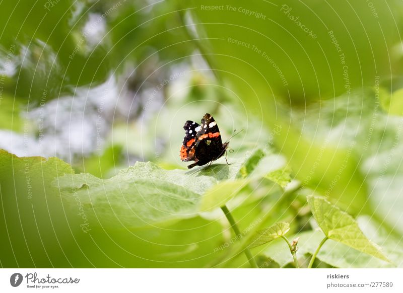 roll up Nature Summer Leaf Foliage plant Garden Butterfly Insect 1 Animal To feed Red admiral Colour photo Exterior shot Copy Space left Copy Space right