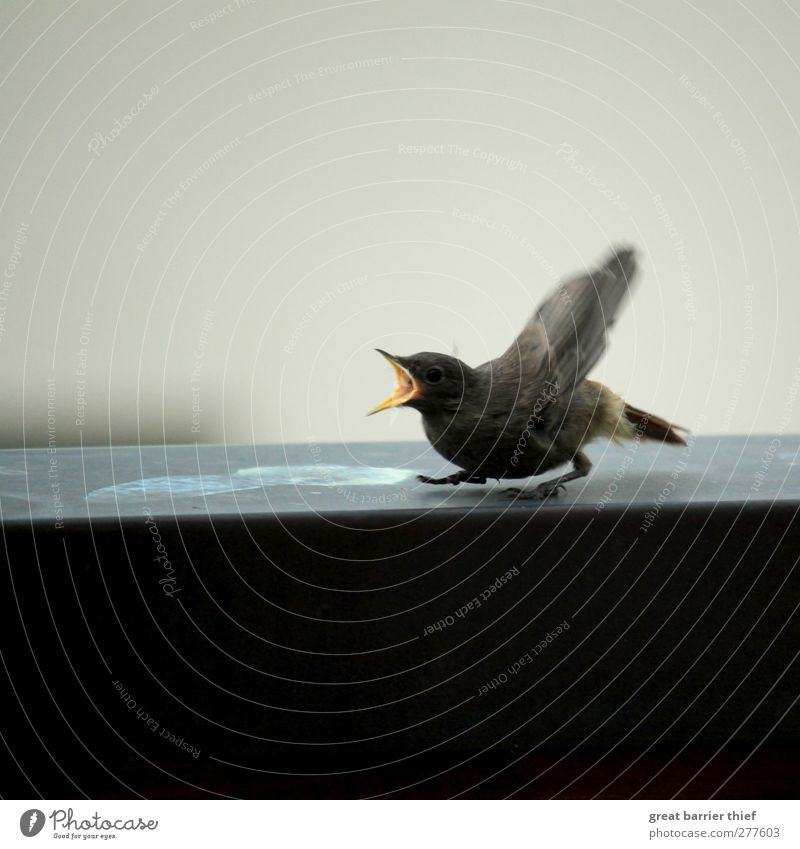 Bird calls for mommy Athletic Fitness Eating Animal 1 Baby animal Communicate Scream Romp Wait Funny Near Wild Yellow Black Appetite Balcony Feather Flying