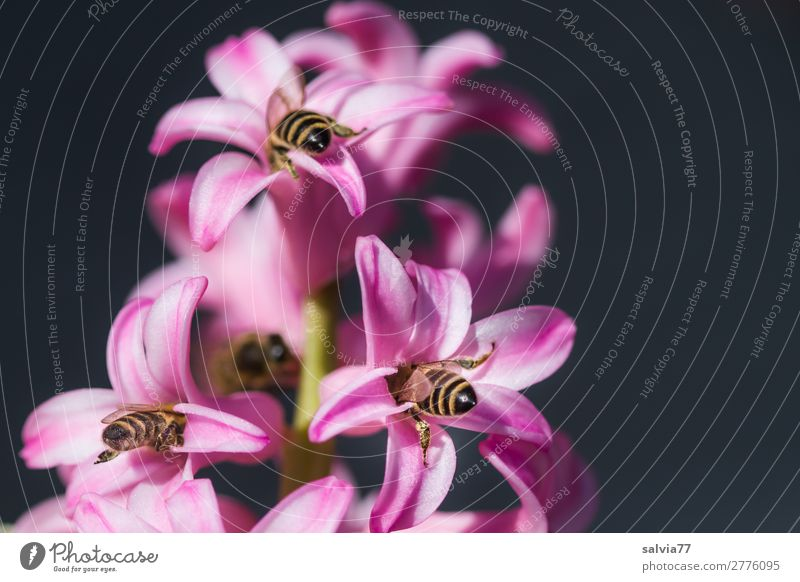 fill up in sync Nature Spring Plant Flower Blossom Spring flowering plant Hyacinthus Garden Animal Bee Insect Honey bee 3 Blossoming Fragrance To enjoy Love