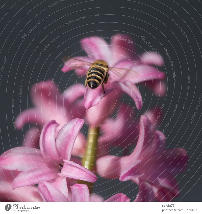 Bee flies towards pink hyacinth Nature Garden Blossom Plant Colour photo Flower Deserted Close-up Spring Pink Hyacinthus Fragrance Spring fever Beautiful