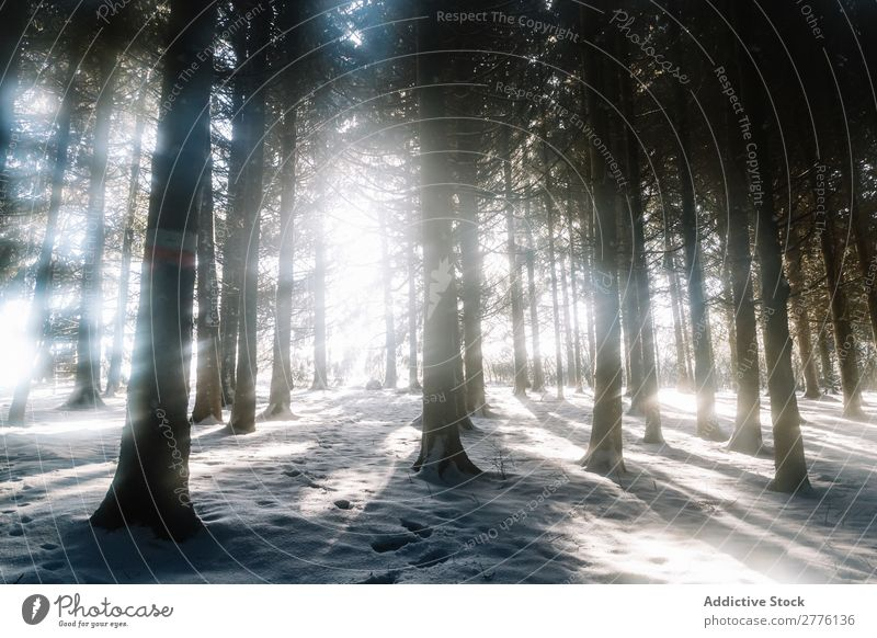 Trees in winter woods Forest Winter Snow Sunbeam Nature Cold White Frost Landscape Seasons Beautiful Freeze Hoar frost Scene Vacation & Travel Frozen Weather