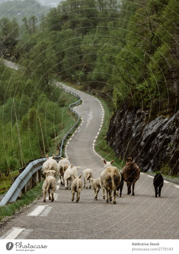 Cattle running down road in mountains Mountain Street Nature Livestock Summer Vacation & Travel Landscape