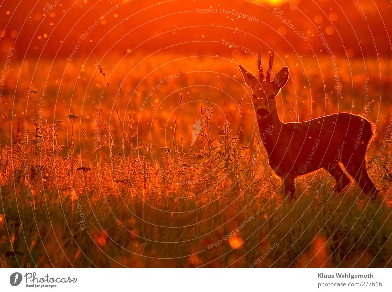 Nature Summer Red Animal Environment Freedom Orange Gold Wild animal Beautiful weather Observe Hunting Antlers Roe deer Safari