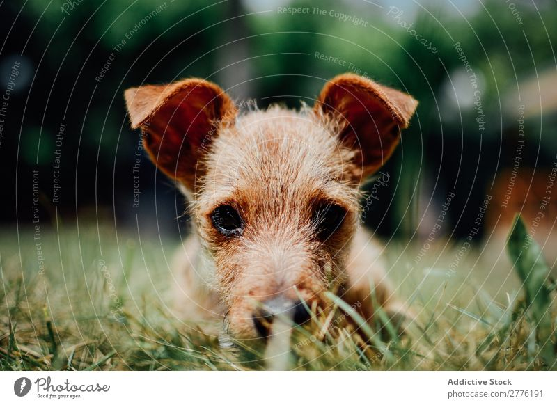 Small dog in the grass Puppy Grass Cute Dog Animal Pet Delightful Green Domestic Purebred Happy Funny Mammal doggy Park Playful pup Friendship Lawn Friendliness