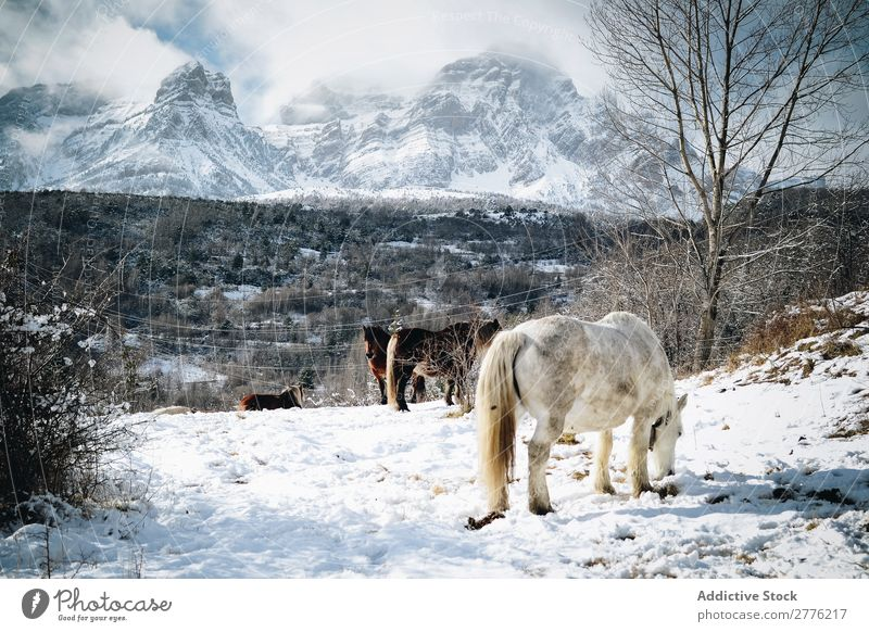 Horses walking in mountains Mountain Snow Nature Peak Landscape Park Beautiful Vantage point Wild Winter stallion Alpine Air Day Mammal Domestic Peaceful