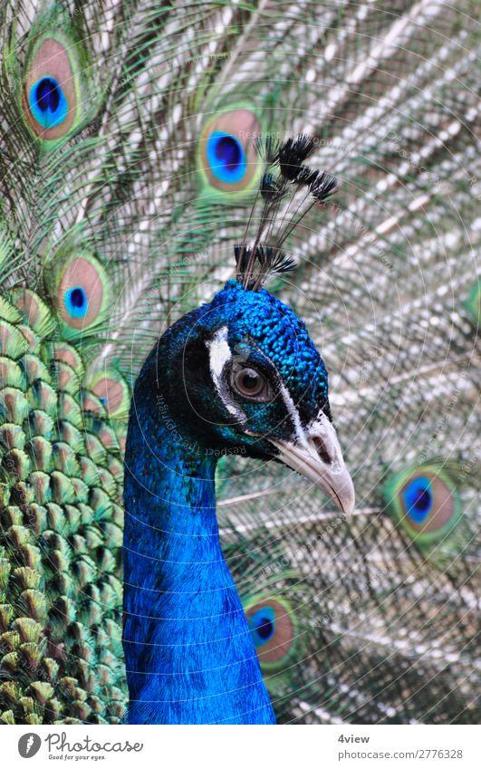 Peacock 2 Animal Pet Wild animal Bird 1 Blue Green Colour photo Animal portrait