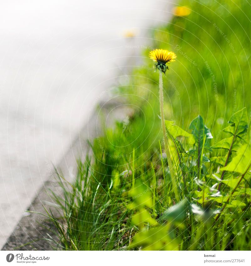 The roadside its vegetation Environment Nature Plant Sunlight Summer Beautiful weather Warmth Flower Grass Foliage plant Wild plant Dandelion Weed Meadow