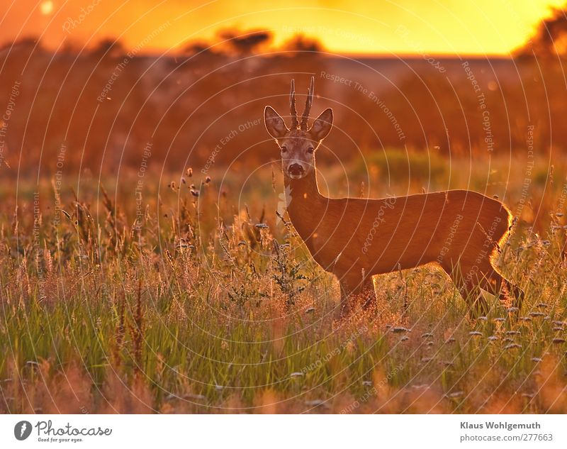 In the evening of some days Environment Landscape Animal Horizon Sunlight Summer Grass Field Forest Wild animal 1 Curiosity Brown Gold Green Orange Red Romance