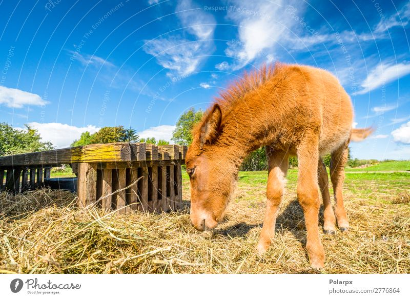 Small horse eating hay at a farm Eating Straw Beautiful Freedom Summer Nature Animal Grass Meadow Pet Horse To feed Feeding Natural Brown Green Black White Mule