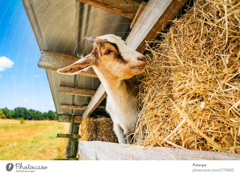 goat eating hay at a barn in a rural environment Eating Beautiful Face Summer Nature Landscape Animal Grass Park Meadow Fur coat Pet To feed Feeding Stand Funny