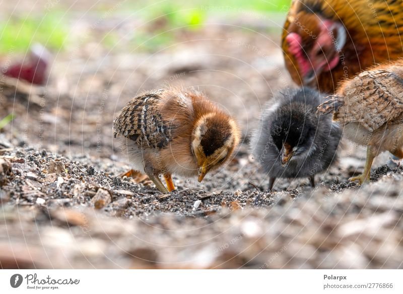 Chickens looking for food in a farm yard Nature Summer Colour Green Animal Eating Life Natural Family & Relations Grass Small Garden Bird Brown Feather Baby
