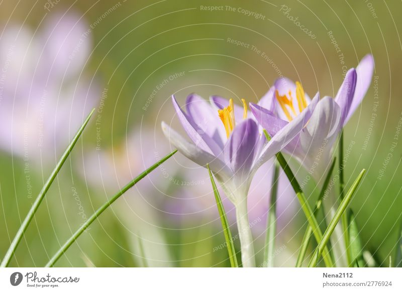SPRING MESSENGERS Environment Nature Plant Spring Weather Beautiful weather Flower Garden Park Meadow Fresh Violet Pink Crocus February heralds of spring