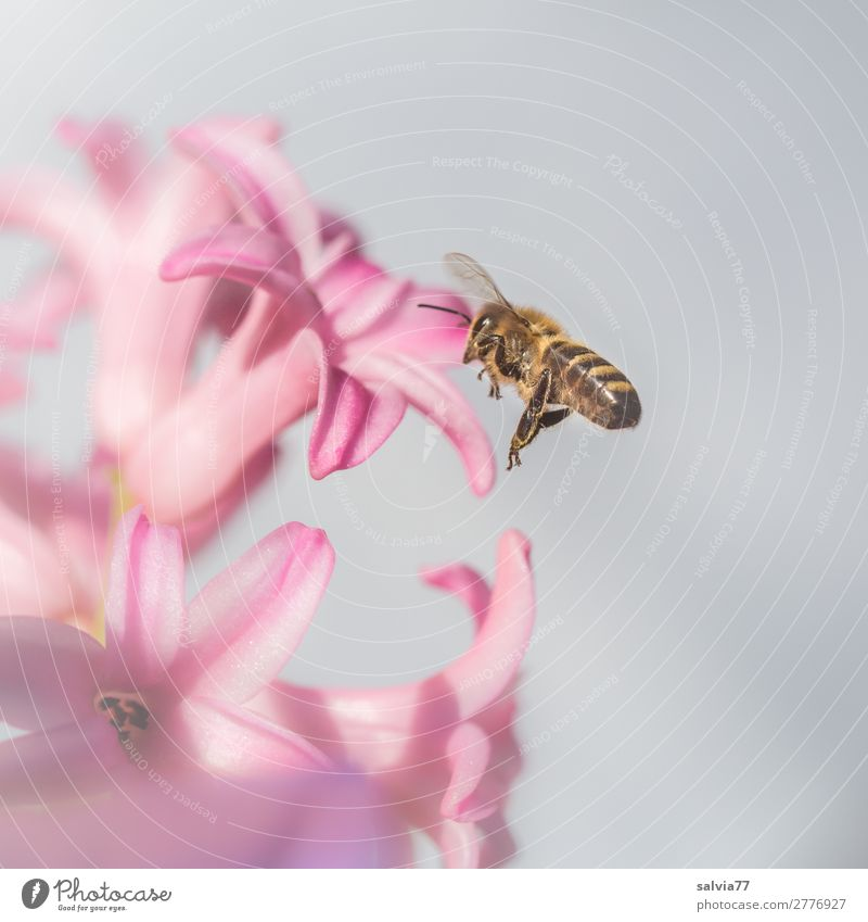 Nature Plant Flower Animal Environment Blossom Spring Garden Pink Flying Sweet Wing Target Insect Bee Fragrance