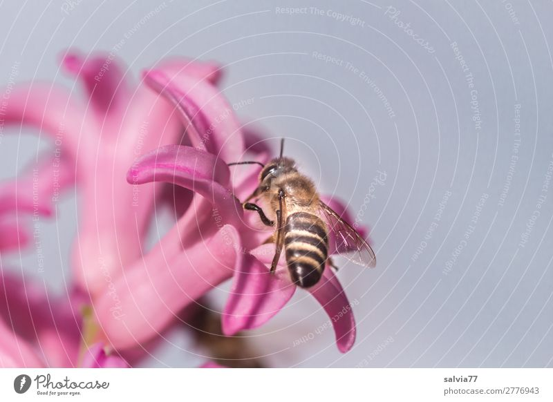 Nature Plant Flower Animal Environment Blossom Spring Garden Pink Work and employment Blossoming Insect Bee Fragrance Farm animal Diligent
